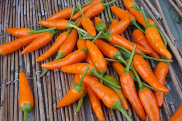 Yahei super hot chili peppers