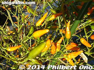 Yahei chili peppers are orange.